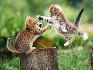 chatons qui jouent