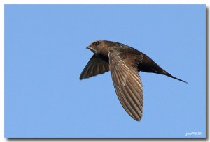 Martinet noir Apus apus Common Swift